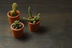 Cactus on black wood desk royalty free stock photos