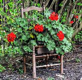 Flower pot chair. Summer bloom red Stock Photos