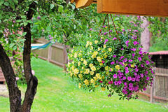 Flower pot with colorful petunia hanging in backyard Royalty Free Stock Images