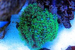 Flower Pot Coral LPS - Goniopora sp. Flowerpot Coral is often referred to as Daisy Coral, Ball Coral, or Sunflower Coral. All of the flower references are stock photo