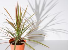 Flower in pot. Dracaena. The shadow of the flower on the wall royalty free stock photos