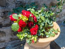 Flower pot in the form of a vase with a bush of scarlet roses in the Megala Meteora monastery in Meteora region, Greece royalty free stock photo
