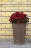 Flower pot front of yellow brick wall Royalty Free Stock Photos