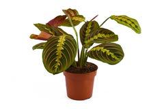 Full exotic `Maranta Leuconeura Fascinator` plant isolated on white background