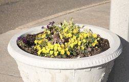 Flower Pot. A garden pot filled with yellow flowers Stock Images
