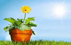 Flower pot on the grass Royalty Free Stock Photo