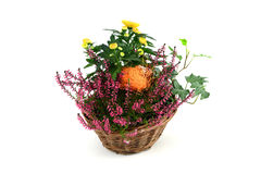 Flower pot of heather with mini pumpkins on isolated white backg Stock Photography