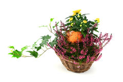 Flower pot of heather with mini pumpkins on isolated white backg. Flower pot of heather and chrysanthemum flower with mini pumpkins on isolated white background royalty free stock images