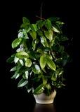 Flower in pot, Hoya. Flower in pot on a black background, Hoya Stock Images