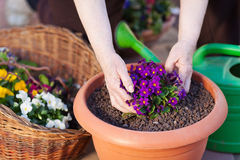 Flower pot. Human hand planting a flower in the pot Stock Photo