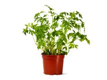 Flower pot with lovage Royalty Free Stock Photos