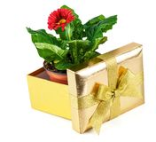 Flower pot in the open golden box. Red flower in a pot inside the open golden box isolated on white background Royalty Free Stock Photography