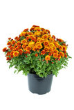 Flower pot with orange chrysanthemum flowers. Isolated on the white background Stock Images