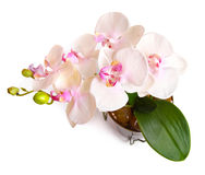 Flower pot with orchid isolated on white Stock Images