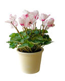 Flower pot with pink flowers, isolated Royalty Free Stock Photos
