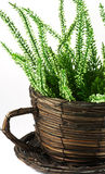 Flower pot with plant Stock Images