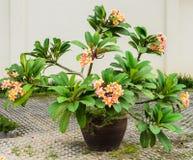 Flower pot plumeria Royalty Free Stock Photography