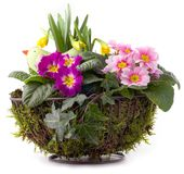 Flower pot with primroses, daffodils and moss Stock Images