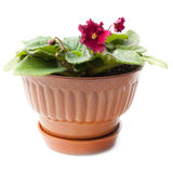 Flower pot with purple violets Royalty Free Stock Photos