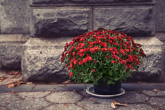 Flower pot with red chrysanthemums in front of stone wall Stock Photos