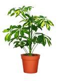 Flower in pot. Flower schefflera in pot on white background stock image