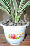 FLOWER POT FOR THE SHOW. A pot containing a plant from the family of white and green aloe. this plant is adapted to embellish the show stock photo