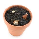 Flower pot with tulip bulbs Stock Photos