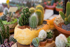 Flower pot with variety of succulents Royalty Free Stock Image