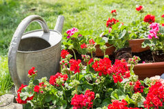Flower pot with watering can. Old watering can standing next to window box with geraniums Stock Image