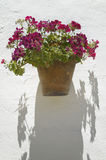 Flower pot and white wall in andalucia. Cadiz. Spain Royalty Free Stock Photo