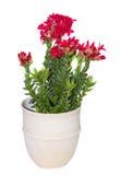 A flower pot wiht a crassula cotyledon plant. Stock Photos