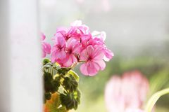 Flower in a pot on the window royalty free stock photo