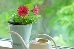 Flower pot on window sill. A view of a pink, blossoming Gerber daisy in a pot, next to a small watering can on a window sill stock photos