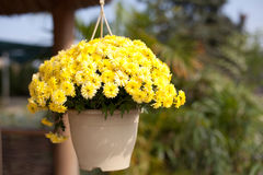 Flower pot. With yellow chrysanthemum. Colorful background Stock Photos