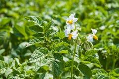 Flower of potato Royalty Free Stock Photos