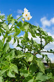 Flower of a potato Stock Photos