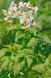 The flower of potato plant. In a garden stock photography