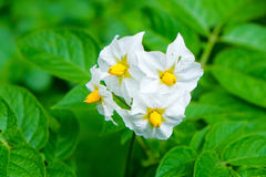 Flower of a Potato Plant Stock Photos