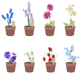 Flower pots with flowers - muscari,primrose and viola. Stock Image