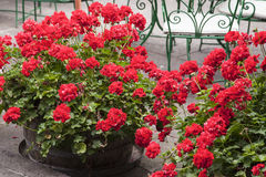 Flower pots with red geraniums Royalty Free Stock Photos
