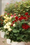 Flower pots with roses Royalty Free Stock Photos