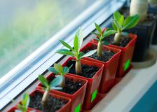 Flower pots with young adenium sprouts standing in a row on the. Windowsill Royalty Free Stock Image