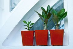 Flower pots with young adenium sprouts standing on the windowsil. Flower pots with young adenium sprouts standing in a row on the windowsill Stock Images