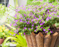 Flower in potted made from wood,cuphea hyssopifola Stock Photos