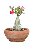 Flower in  potted plant isolated Royalty Free Stock Photos