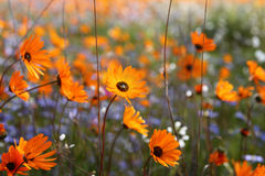 Flower power. Each year, the sunburnt and barren semi-desert Namaqualand landscape of open plains and harsh granite outcrops bursts into a kaleidoscope of Royalty Free Stock Photography