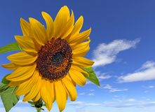Flower Power. Sunflower on big sky royalty free stock images