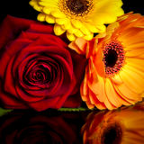 Flower power. A picture of an orange Gerbera, yellow Gerbera and Red rose flower with reflection Stock Photos