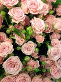 Flower power. Pile of beautiful flowers, roses, of white creamy color, cream-colored, whity-pink, pale pink, rose dozens of flowers of different colour, flower Royalty Free Stock Photo