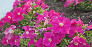 Flower Power. Pink Petunias with a powerful display Stock Photography